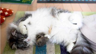 ラグマットに横たわる猫