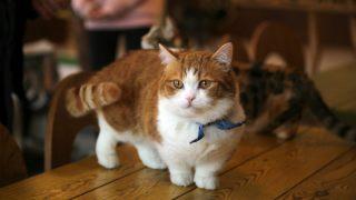 足の短い猫の画像
